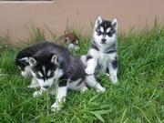 Перспективные щенки породы сибирский хаски