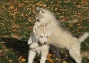 Чудесный щенок сибирской хаски девочка 2 месяца
