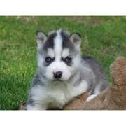 Сибирский хаски щенки
