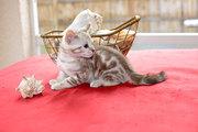Чистокровные бенгальские котята