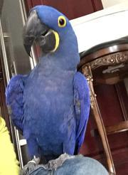 Мужские и женские Гиацинт попугаи ара для нового дома